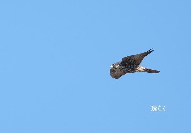 ハヤブサ若鳥.jpg